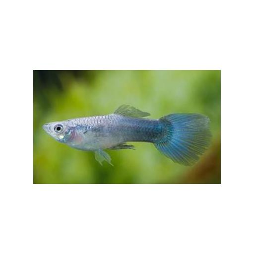 GUPPY MACHO AZUL METALICO NEON 3.5-4 CM