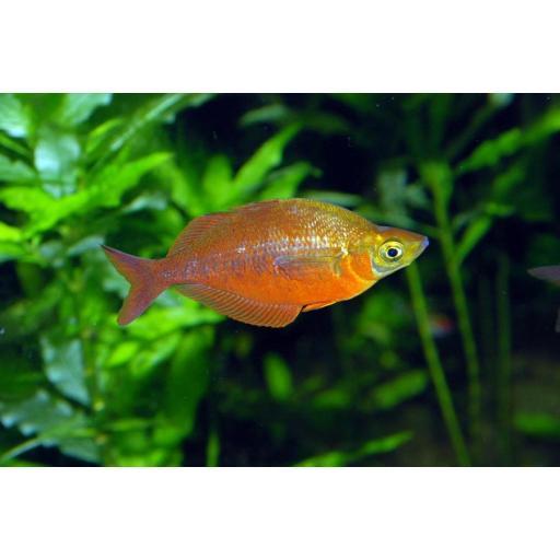Pez Arcoiris Rojo - Glossolepiz Incisus 6cm [1]