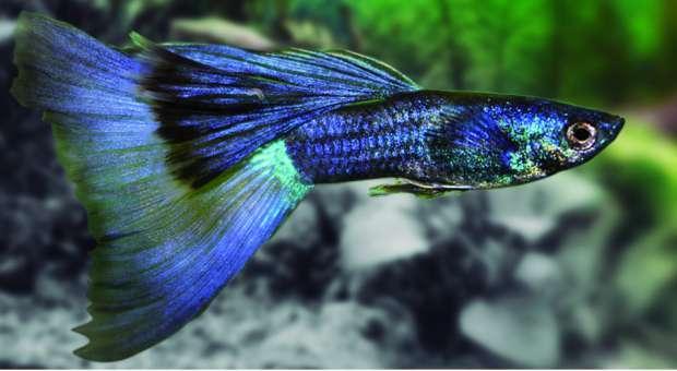 Guppy Macho Fancy Azul - Poecilia Reticulata Blue