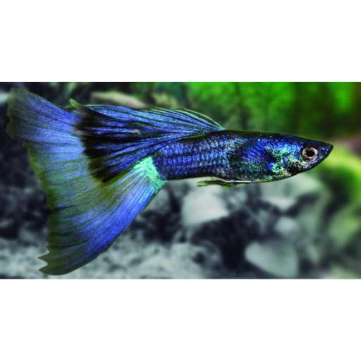 Guppy Macho Fancy Azul - Poecilia Reticulata Blue