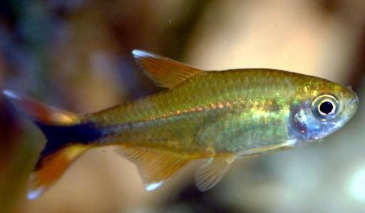 Hasemania Nana 2,5-3cm