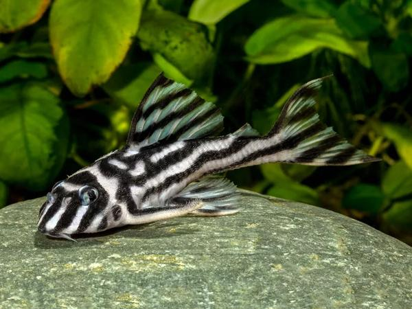 Hypancistrus zebra L046 3,5 -4cm