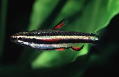 Pez Lapiz Enano - Nannostomus Marginatus 2,5cm