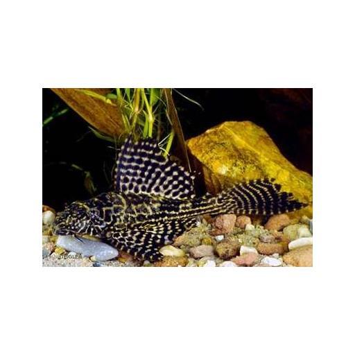 Plecostomus Leopardo 6-7 CM
