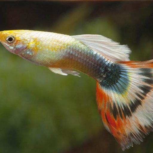 GUPPY MACHO KUMARA SUN RAY 3.5-4 CM
