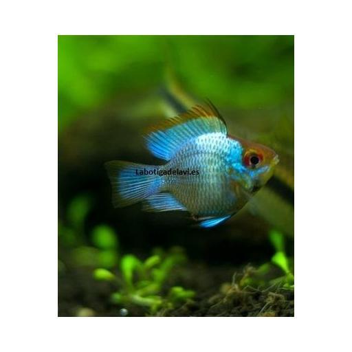 Ramirezi Balon Azul Metalico 3,5 cm