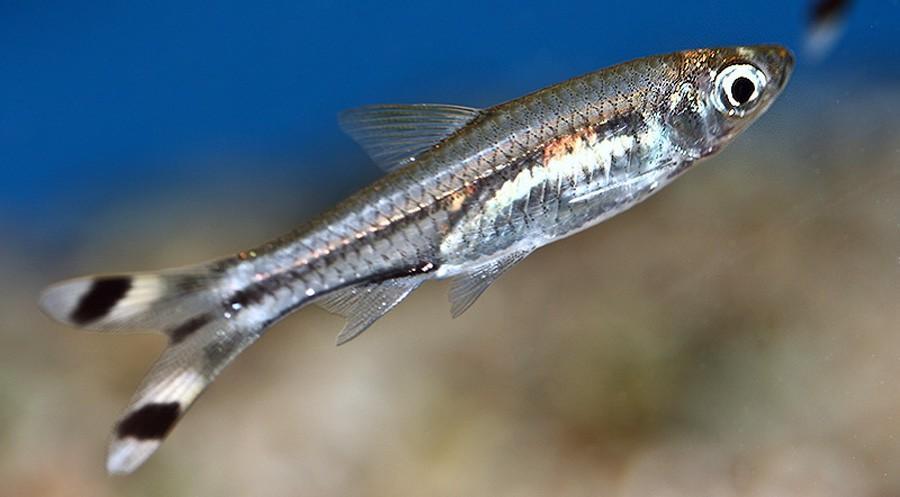 Rasbora Trilineata 2.5-3cm
