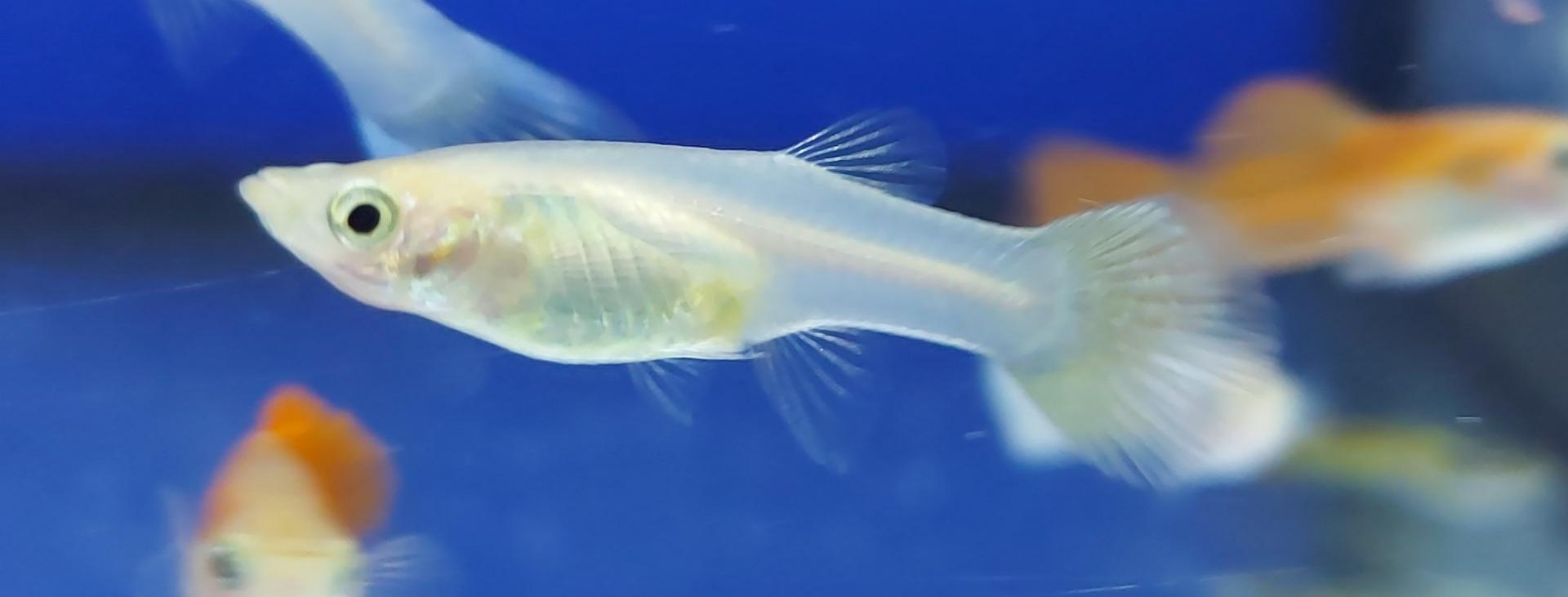 Guppy macho tuxedo blanco 2.5-3cm
