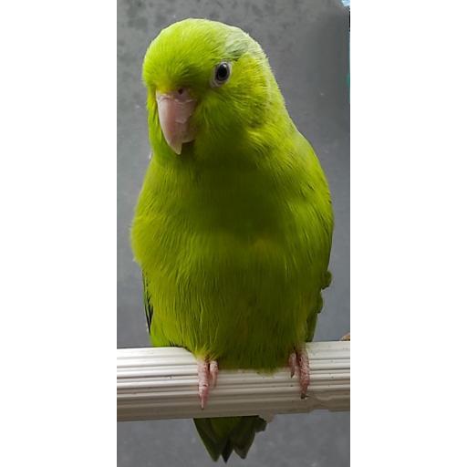 Forpus verde Lima Hembra