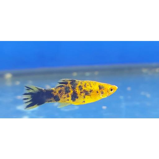 Xiphophorus helleri Calico Hembra 4-5cm