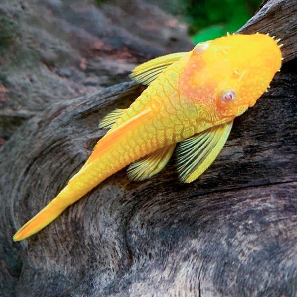Ancistrus Gold 2,5-3cm
