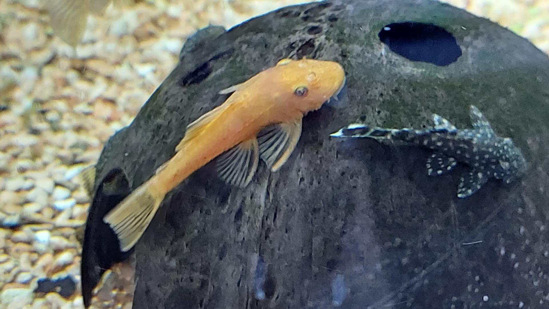 Ancitrus Rojo 5-6cm
