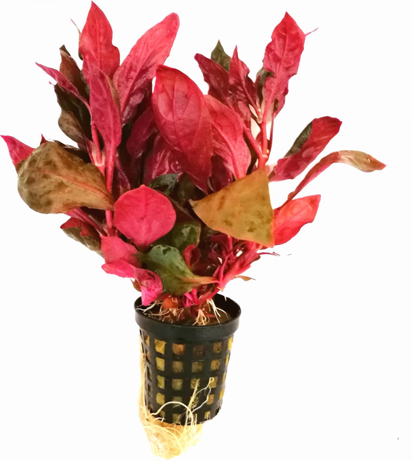 Alternanthera Rosaefolia