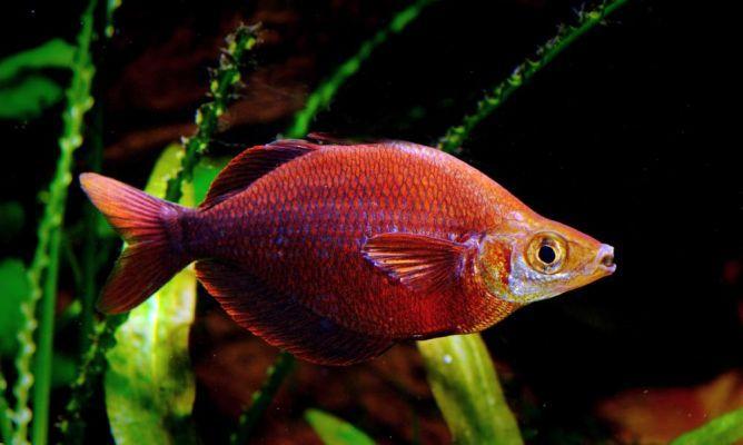 Pez Arcoiris Rojo - Glossolepiz Incisus 6cm