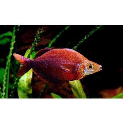 Pez Arcoiris Rojo - Glossolepiz Incisus 6cm [0]