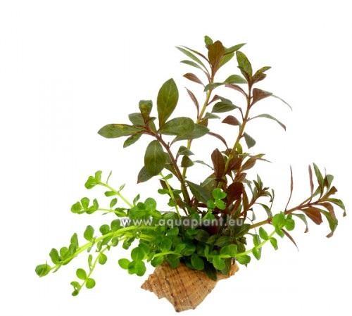 Concha - 2 variedades plantas de tallos en 1 Concha