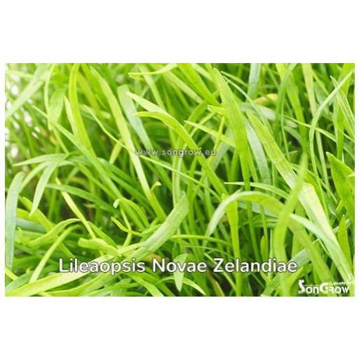 Lilaeopsis novae-zelandiae (Syn: L. brasiliensis)  [2]
