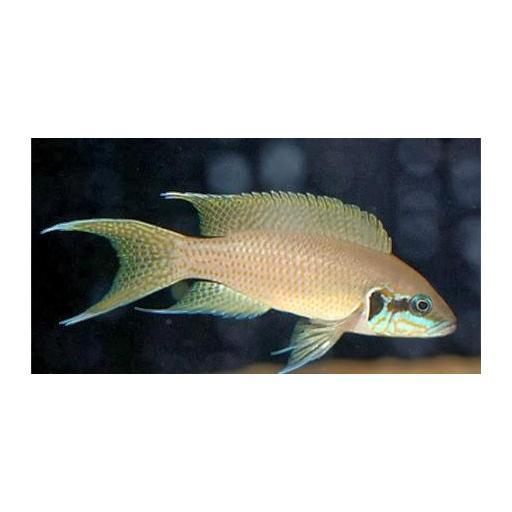 Princesa de Burundi - Lamprologus Brichardi 4-5cm [1]