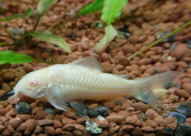 Corydora Albina 2-3cm
