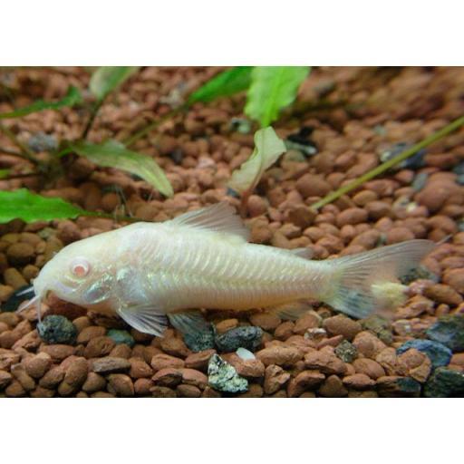 Corydora Albina 2-3cm [0]