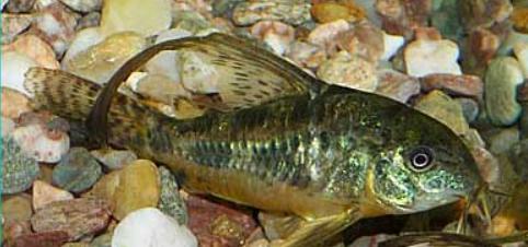 Corydora Paleatus Longfin 2-2,5cm
