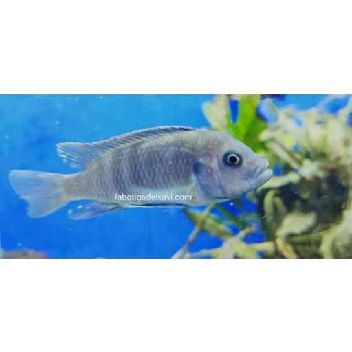 Pseudotropheus Daktari azul