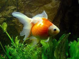Pez Escama de Perla Naranja-Blanco 5-6cm