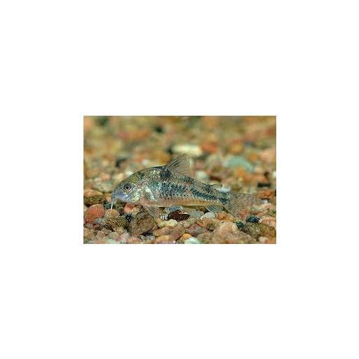 Corydora Pimienta - Corydoras Paleatus 3cm [1]