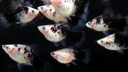 Platy Coral  Panda 3-3,5 Cm.