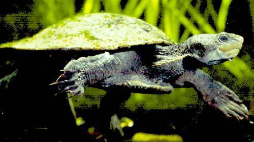 Tortuga Elseya New Guinea Baby -  Elseya Schultzei