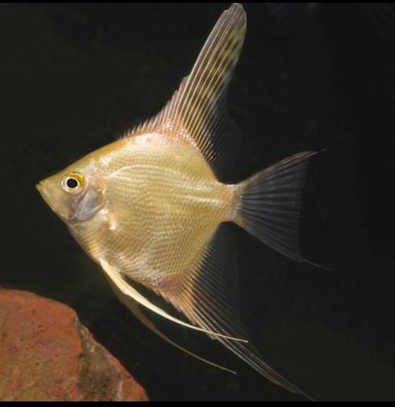 Escalar Gold 4-5cm