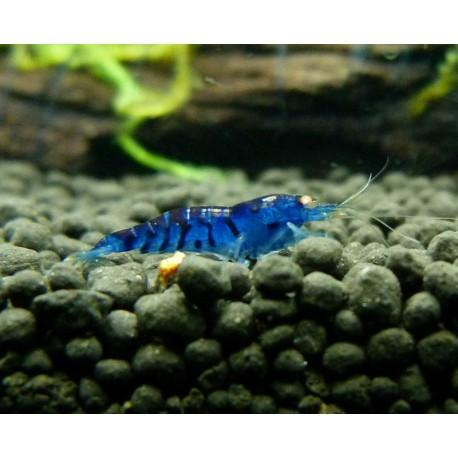 Gamba Azul Diamante 1-1,5 cm