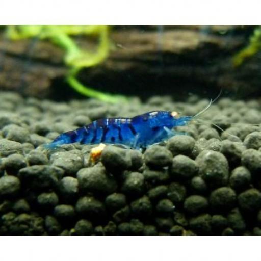 Gamba Azul Diamante 1-1,5 cm [0]
