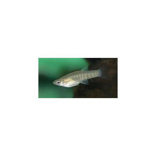 Hembra Girardinus Metallicus - Garganta Negra 1.5-2.5