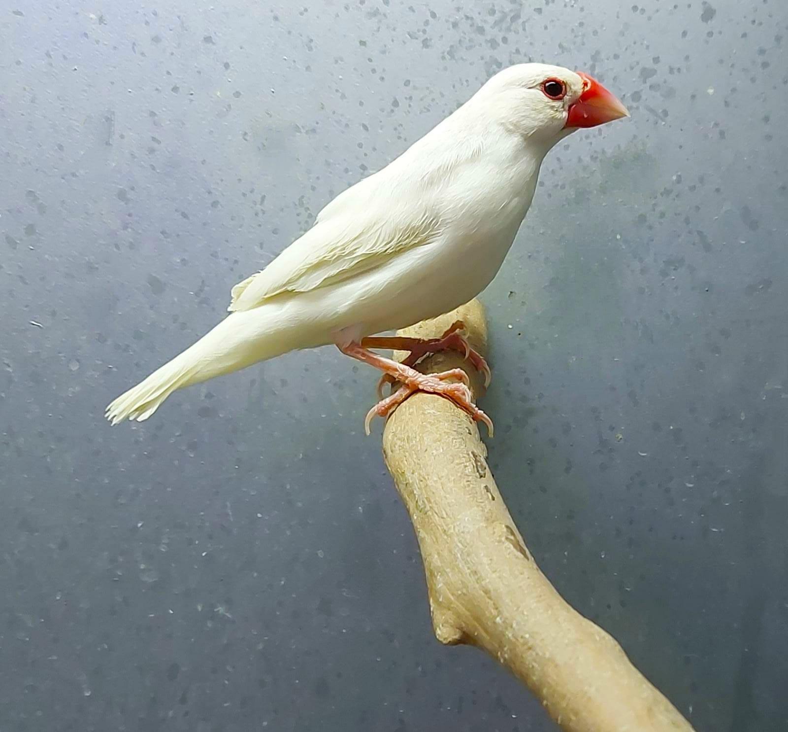 Gorrion de Java Blanco
