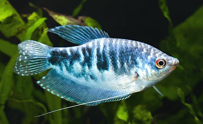 Gourami Azul - Trichogaster Trichopterus Cosby 4-5cm