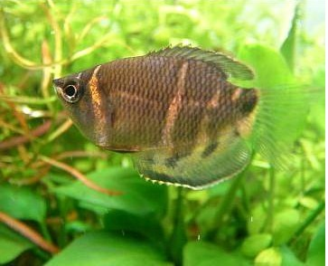 Gourami Chocolate 2,5-3