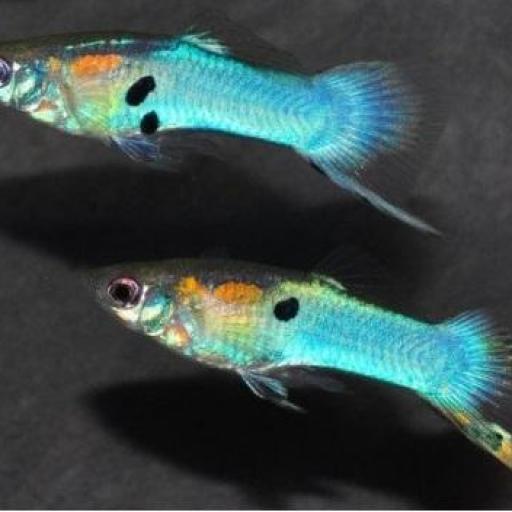 Guppy Macho Endler Azul  2-2,5cm