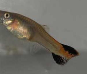 Guppy Hembra Coral Tail- Poecilia Reticulata