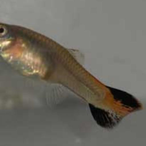 Guppy Hembra Coral Tail- Poecilia Reticulata [0]