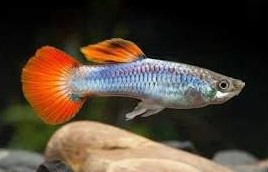 Guppy Macho Neon Firetail 3-3,5cm