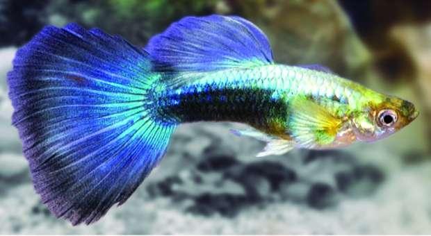 Guppy Tuxedo Azul Macho - Poecilia Reticulata