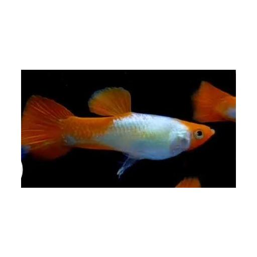 Guppy Macho Red Cap 3-3,5cm