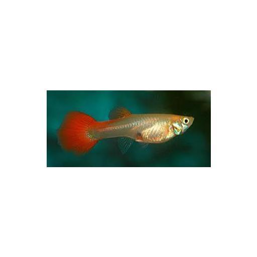 Guppy Hembra Blond Rojo - Poecilia Reticulatus 4-4,5cm