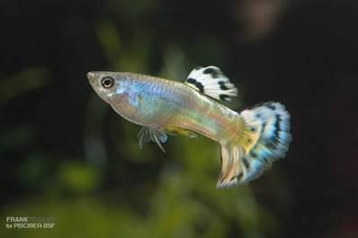 Guppy Macho Azul Glass