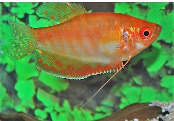 Gourami Oro Rojo 4- 5cm - Trichogaster Trichopterus Gold Red