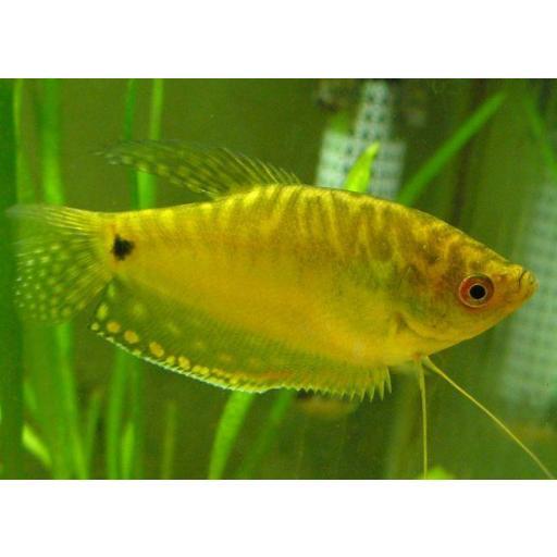 Gourami Amarillo Gold - Trichogaster Trichopterus Gold 5-6cm