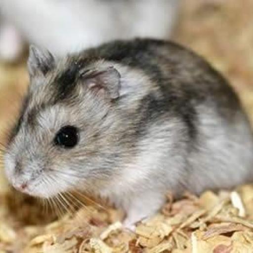 Hamster [1]