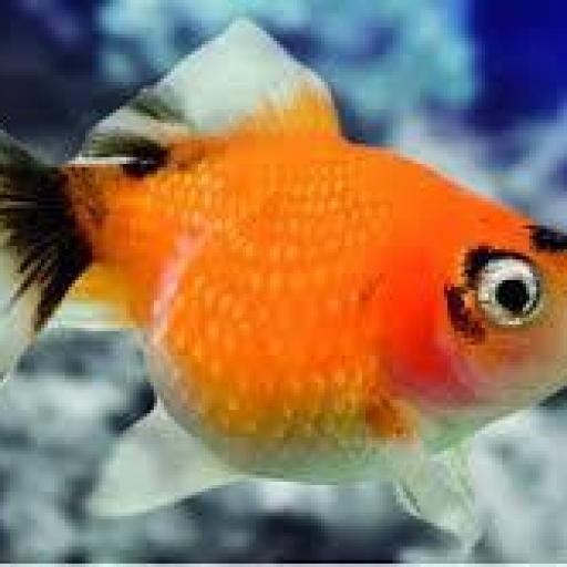 Pez Escama de Perla Naranja-Blanco 5-6cm [1]