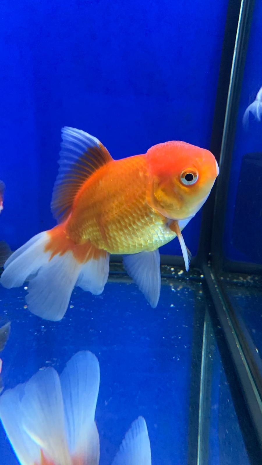 Oranda Naranja 11-13 cm